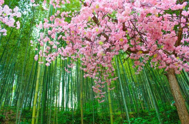 bamboo-forest-620x406