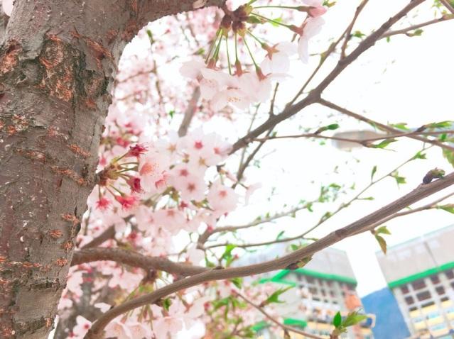 cherry-blossom-tree-korea-2018