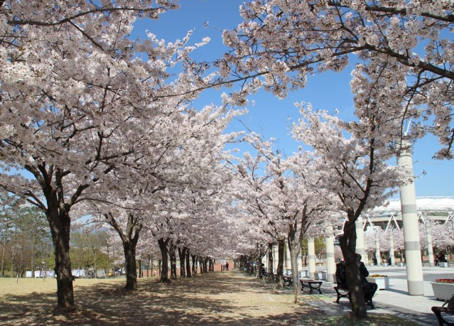 jijeo-dong-cherry-blossom-tunnel