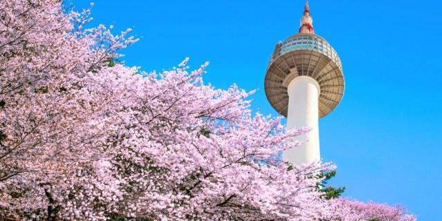 korea-cherry-blossoms-1